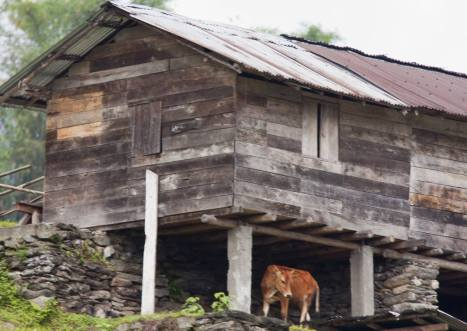 One of the Lepcha house. Notice the architecture which is similar to the traditional Lepcha house. Instead of concrete pillars, logs of tree were used. The below space is used for storing livestocks