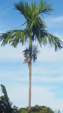 Supari Tree