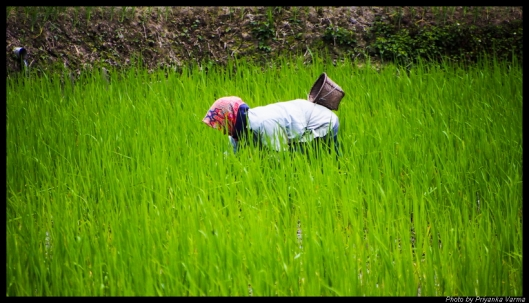 Apatani working in the paddy field